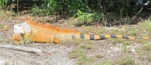 Biggest iguana I've ever seen!
