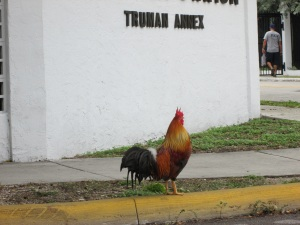 A Key West rooster.